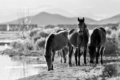 Wild Mustangs - The Water Herd 1