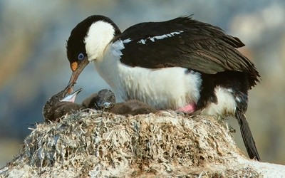 Feeding Shag Nestlings