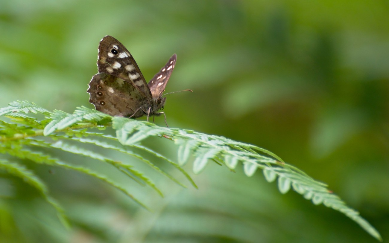 Brown butterfly with white patches on bracken, framed so that the bracken gives a leading line