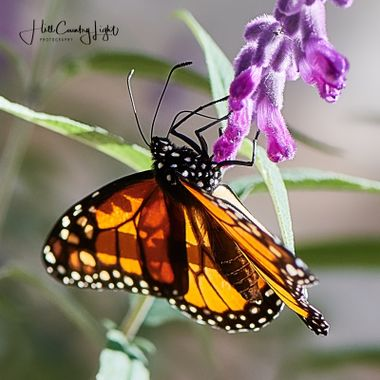 Monarch. Texas Hill Country