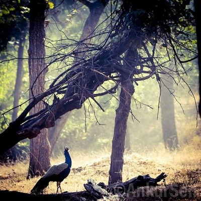 Peacock Indian National Bird #jungle #travelPhotoGraphy #travelblogger #india #wonderful #landscape #wildlife #destination #vacation #vsco #photo #igers #webstagram #instagramphotos #trip #view #wanderlust #wildlifephotography #sky #blogger #picture #happ