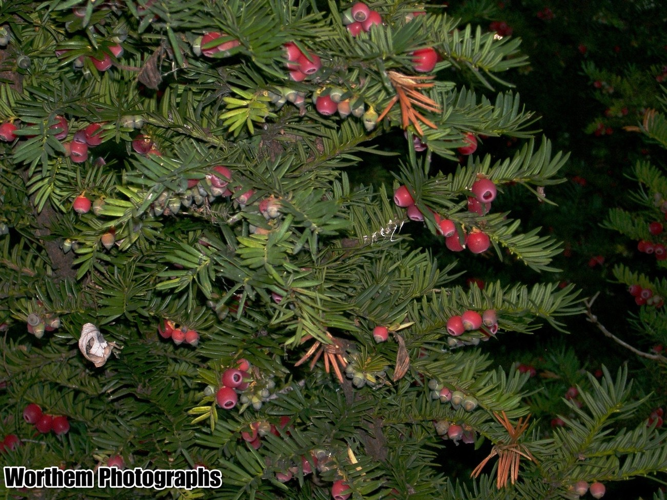 A beautiful pine tree with a festive close up.
