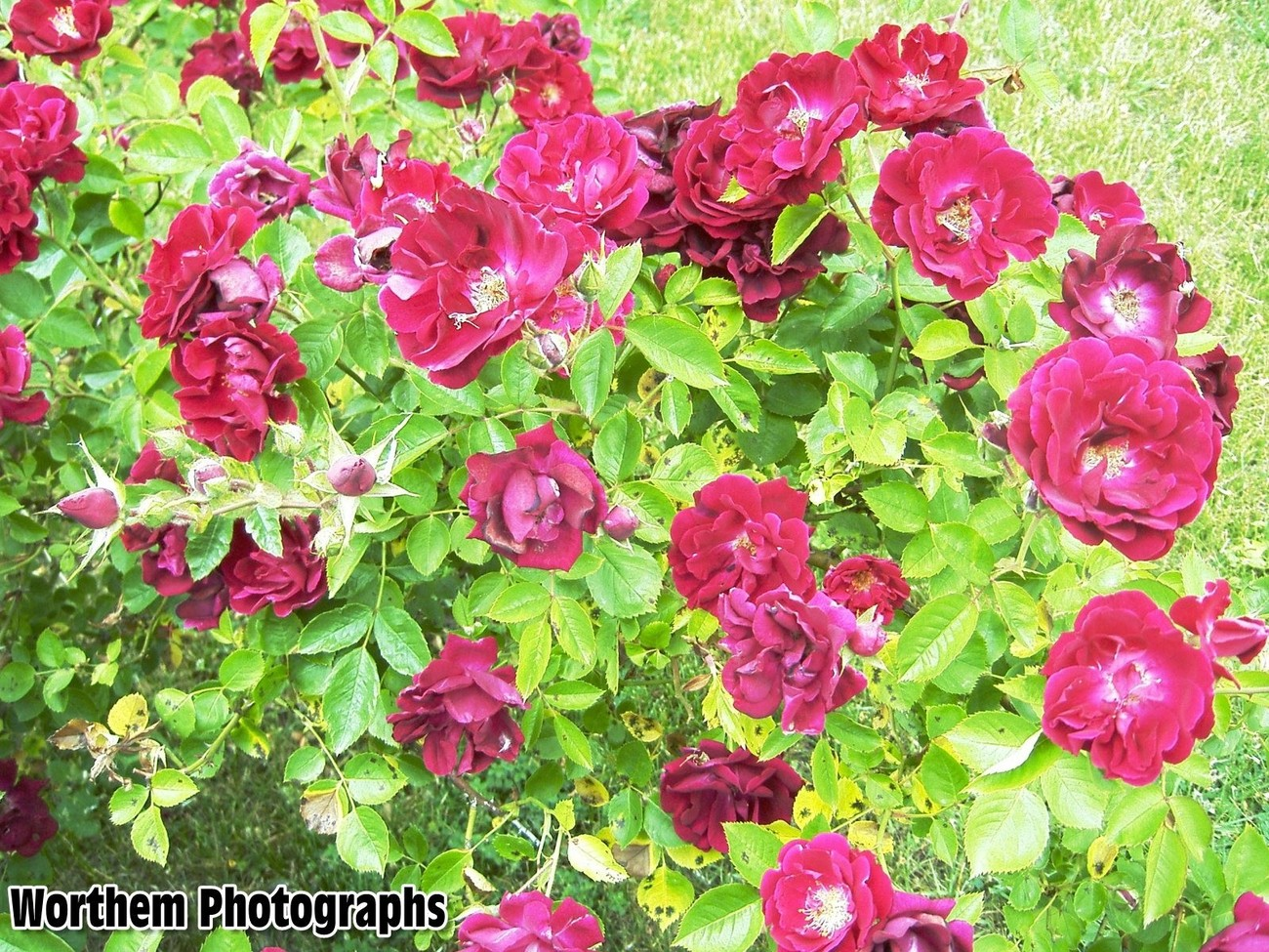 A picture of a bed roses just waiting to be smelled.