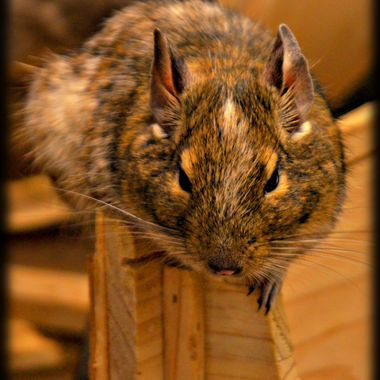 Rodent perched on some wood.