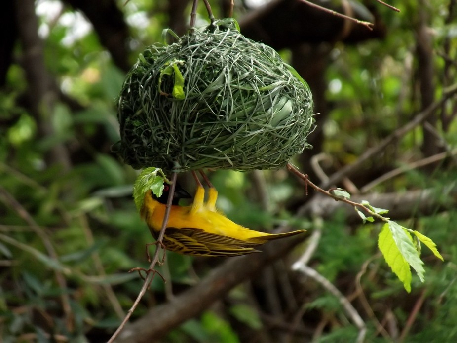 Weaver bird are best builders in the bird kingdom, building is done by males who is always trying...