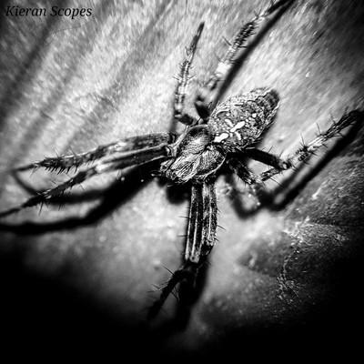 The Garden Spider. B&W