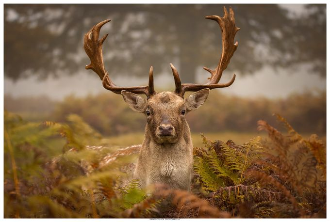 Fallow Deer In Portrait by BrianpSlade - Social Exposure Photo Contest Vol 12