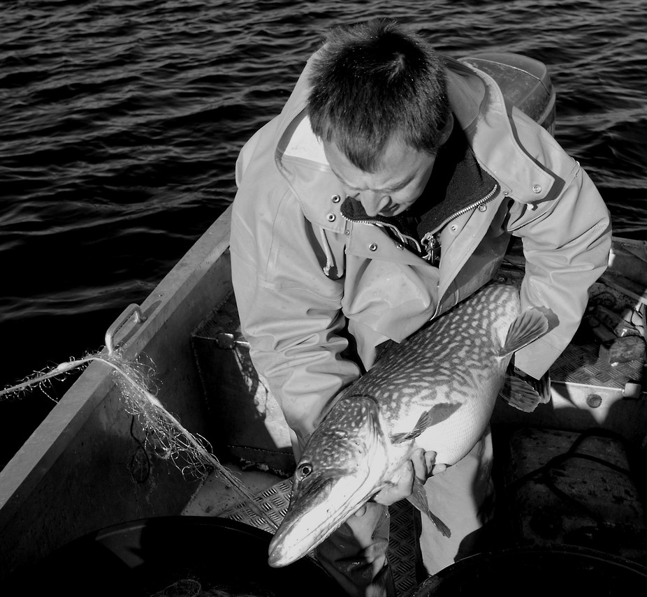 fisher in Northern Germany caught a big pike