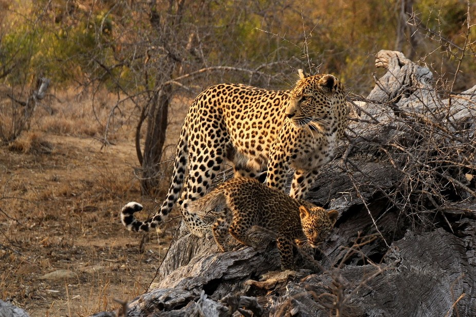 This photo was taken on a photographic holiday. We were blessed to see Mum with her 8 week old Cub.