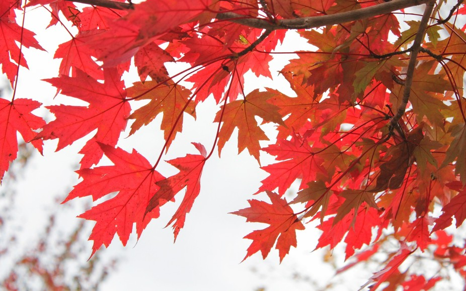Back lit Red Maple Leaves from Maplewood Cemetery.