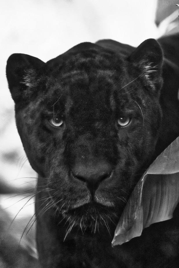 Paris_Zoo de Vincennes_Jaguar_1_mod_1 by JacquesH60 - Monthly Pro Vol 37 Photo Contest