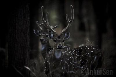 Horny Samba #wild #deer #wildlifephotography #wildernessculture #travelPhotoGraphy #travelblogger #india #wonderful #landscape #smile #destination #vacation #vsco #photo #igers #webstagram #instagramphotos #wanderlust #composition #blogger #picture #happy