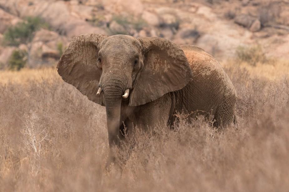 Dreigende houding olifant in Kenia