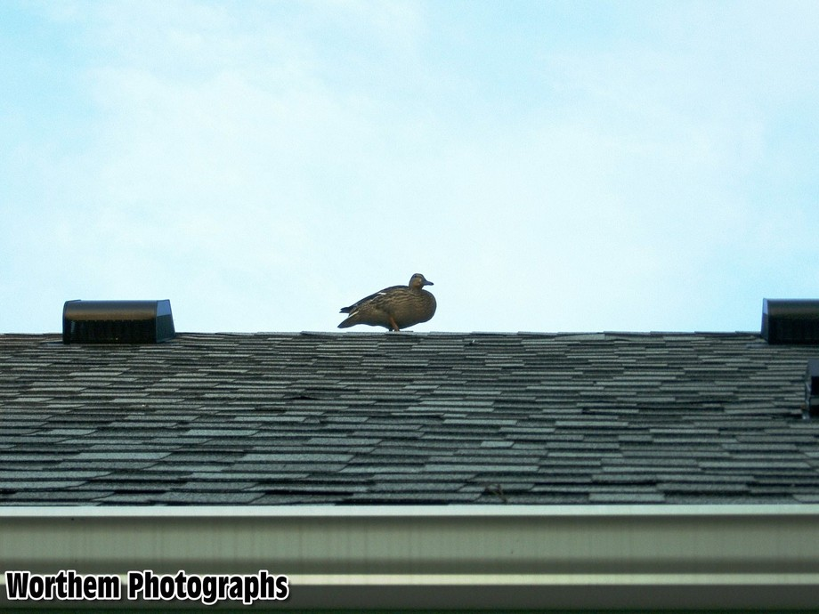 A photo of goose or some kind of bird on top of a house in search of a pond or some body of water.