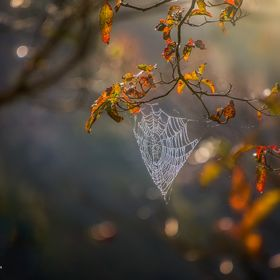 Spiders, Mother Nature's greatest designers, decorate the autumn forest morning with dripping, diamond light-catchers. Taken early morning i...