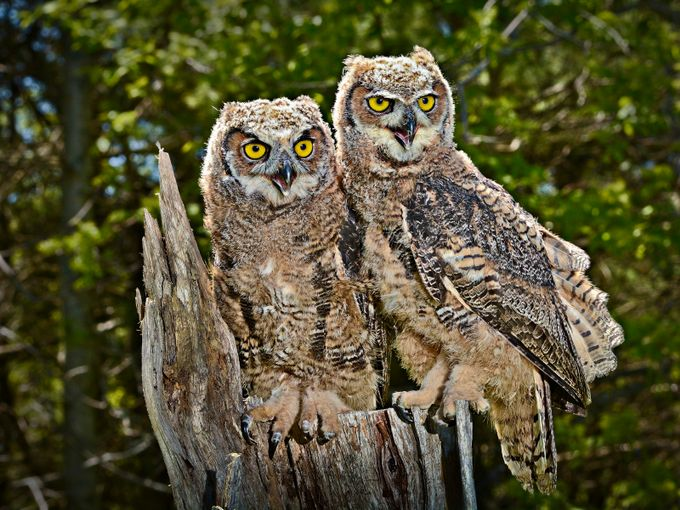 Young Great Horned Owls by josephleduc - Beautiful Owls Photo Contest