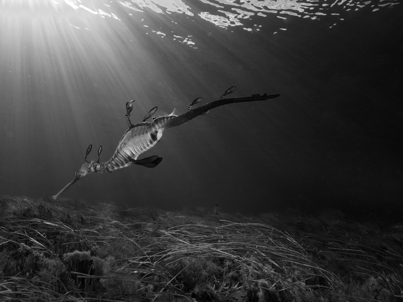 Weedy Sea Dragon in Black and White because it a high contrast image to being with, the light rays and the sea grass in black and white make it a very dramatic image
