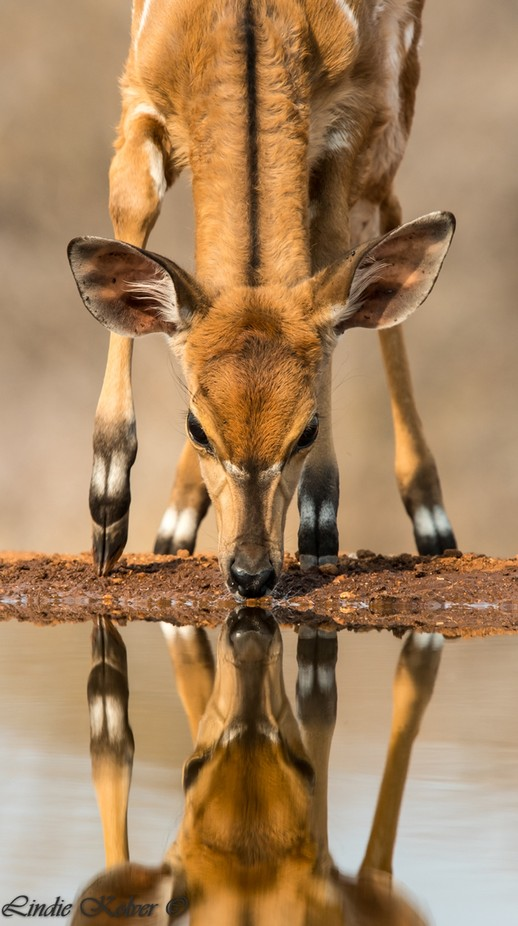 Bushbuck Baby by lindiekolver - Wildlife And Water Photo Contest