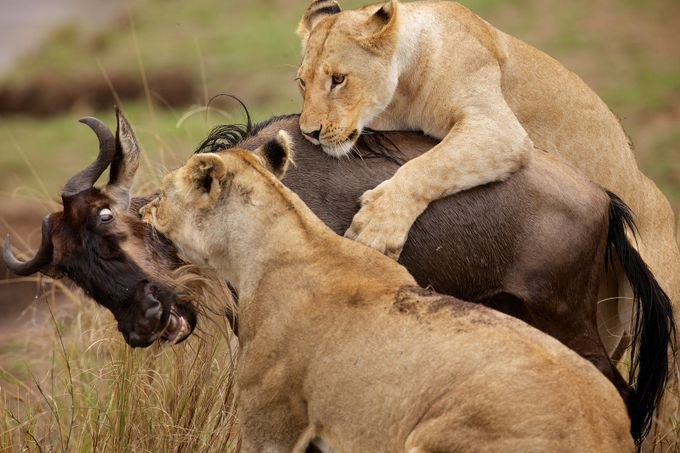 wildebeest v lions by bridgephotography - Food Chain Struggles Photo Contest