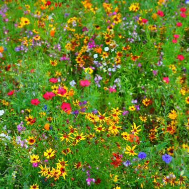 A beautiful field of wild flowers in Cambridge . I spotted these while out for a walk and the colours are beautiful