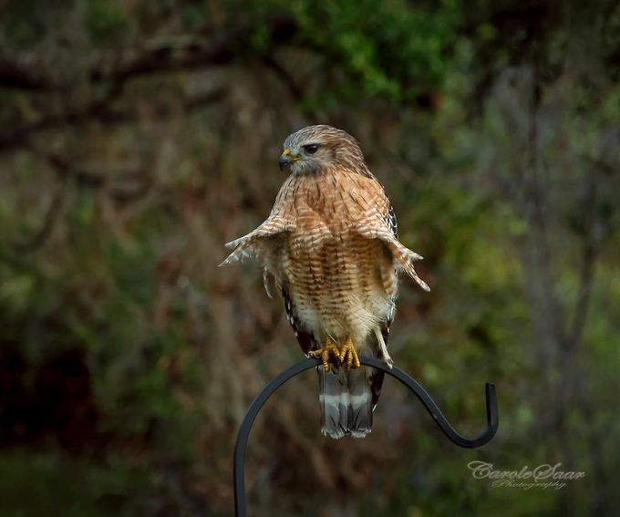 Red Shoulder Hawk 2 by caroleann1947 - Monthly Pro Vol 37 Photo Contest