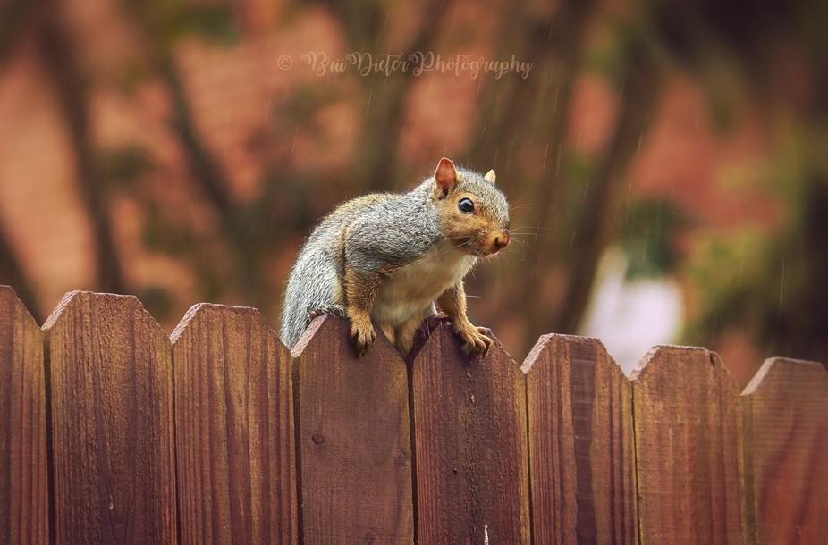 Fat Squirrel In The Rain