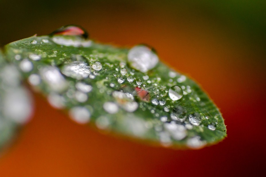Raindrops on clover with autumn leaf behind