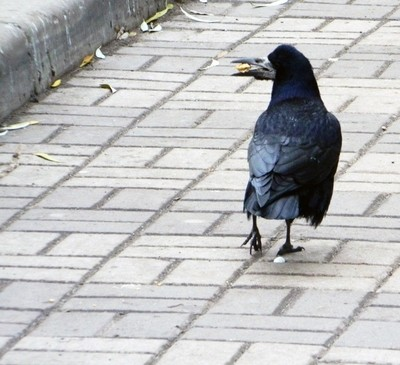 Crow walks on street