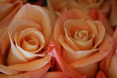 Roses - a perfect pair of peach roses