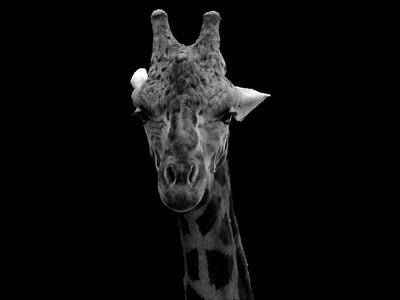 Black and White Giraffe 000 A