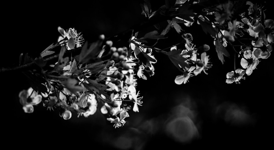 Hawthorn flowers in black and white