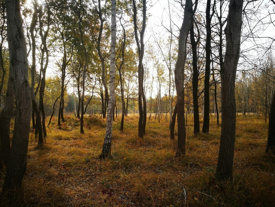 Unfiltered autumn colors in a birch wood north of Milan, northern Italy