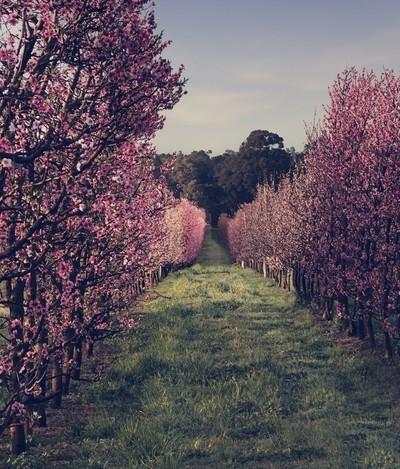 Morning at the Orchard