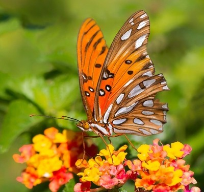 A Wild, Free Flying Gulf Fritillary (Agraulis vanillae) Feeding on a Texas Lantana Plant at the National Butterfly Center in Mission, Texas
