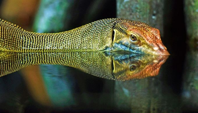 water monitor2 by johnvecchio - Stillness Photo Contest