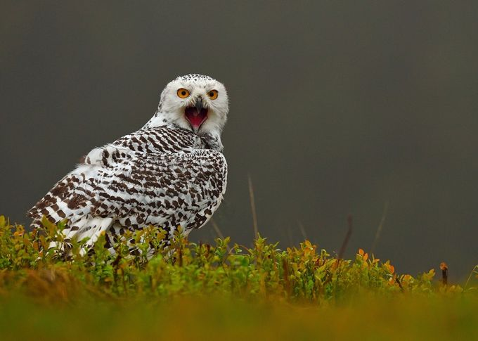 Scream by EuroBen - Only Owls Photo Contest