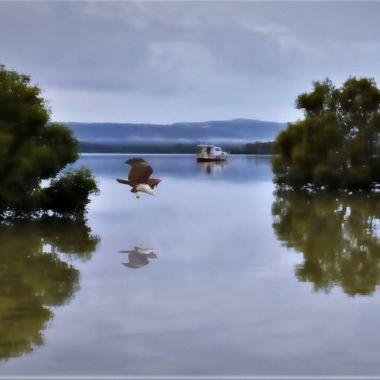 Brahminy Kite reflection