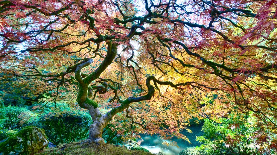 A Japanese Maple Tree In Portland, Oregon