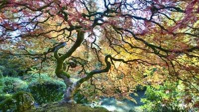Japanese Maple tree in fall color.