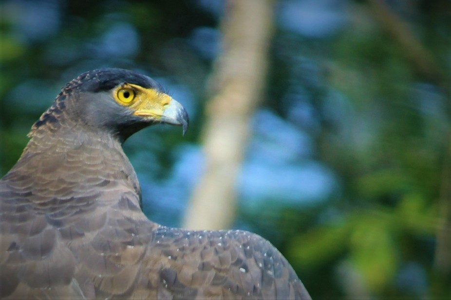 Found this Serpent Eagle, majestically perched on a branch looking for a kill, during a drive thr...