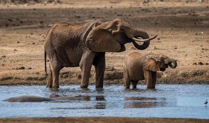 Mom & Baby Elephant Drinking by BensViewfinder - Animals And Water Photo Contest