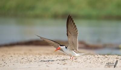 African Skimmer Landing