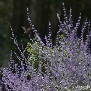 A hummingbird hovering at a flower