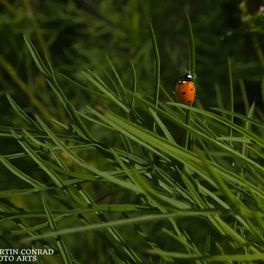 A ladybug crawling up a blade of grass