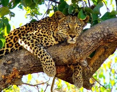 Leopard Staredown