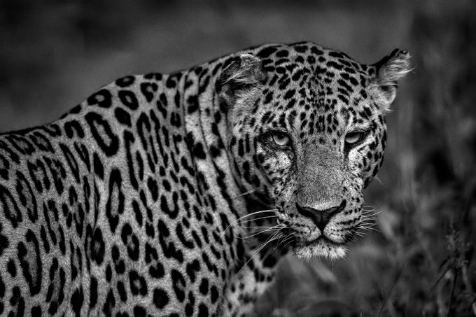 Leopard by angad13 - Social Exposure Photo Contest Vol 13