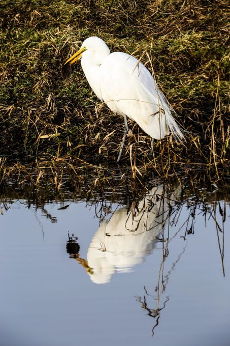 Egret with rodent