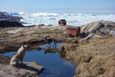 Huskies Ilulissat Greenland.