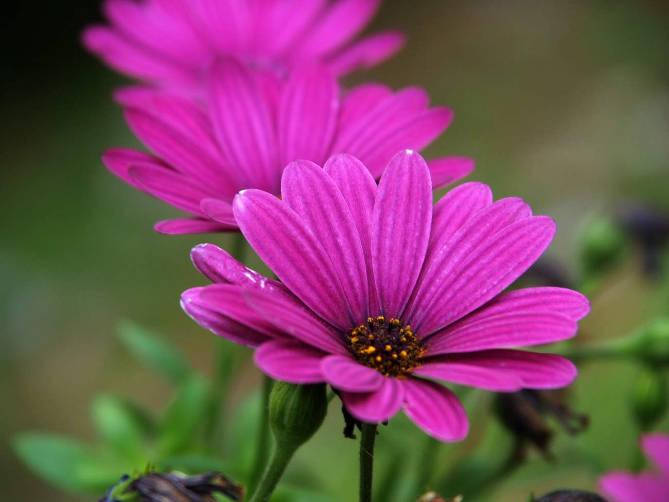 just playing around with macro bokeh on flowers and this nice line of purple daisy's