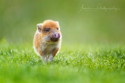 """Pig """"Pepper"""""""